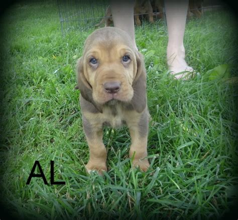bloodhound puppies for sale in ky bloodhound puppies for sale