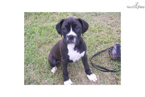 boxer puppies alabama boxer for sale for 400 near huntsville decatur alabama d2f04f10 b821