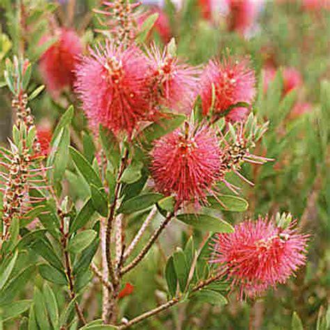 australian flowering shrub australian flower bottle brush photos pictures