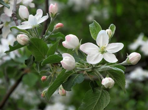 panoramio photo of blooming apple tree