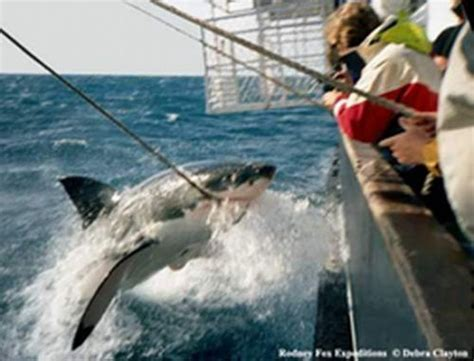 orca whale attacks fishing boat 590 best images about shark on pinterest great white