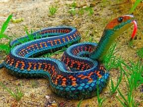 rainbow colored snake http www funnyjunk this ring snake s colors are