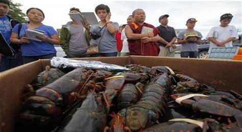Bibit Lobster bibit lobster gagal diselundupkan negara amankan rp12 7 m