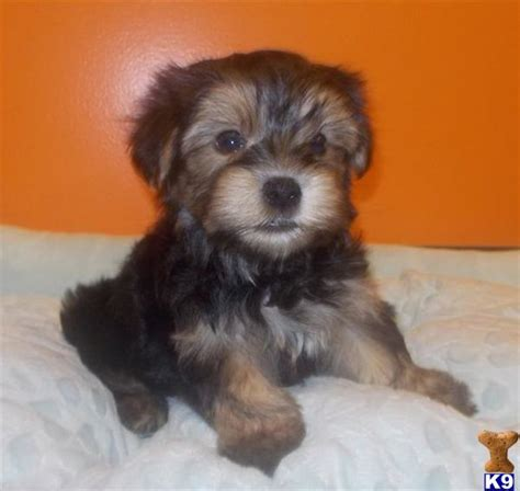 yorkie puppies for sale in el paso tx yorkie poo puppies for sale in el paso tx batch start command parameters