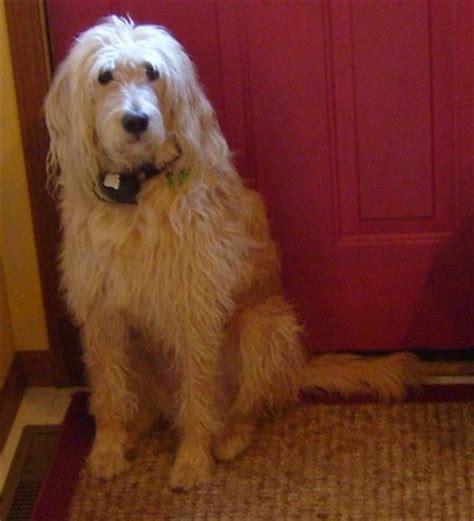 7 month golden retriever behavior goldendoodle breed pictures 4