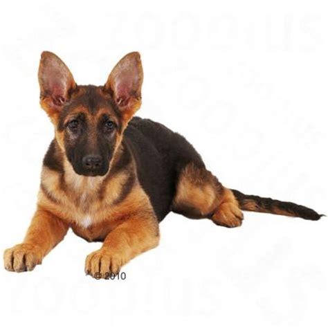 royal canin german shepherd puppy food royal canin german shepherd junior free p p 163 29 at zooplus