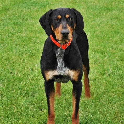 pictures of hound dogs transylvanian hound hungarian hound info temperament puppies pictures