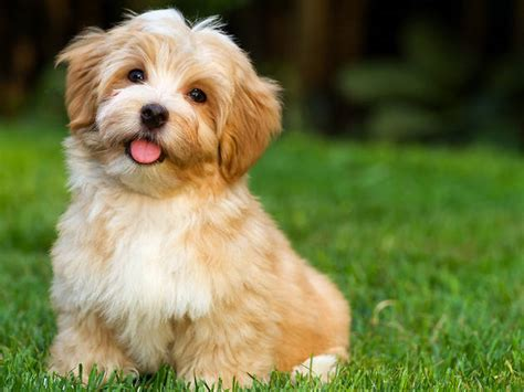 havanese do they shed best small dogs for choosing the pet for your family