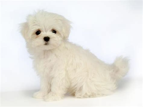 white puppys white wallpaper