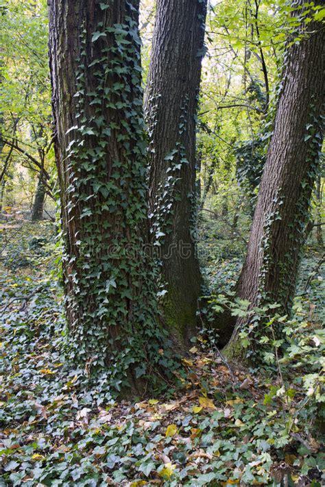 sugli alberi prezzi edera sugli alberi immagine stock immagine di nave legno