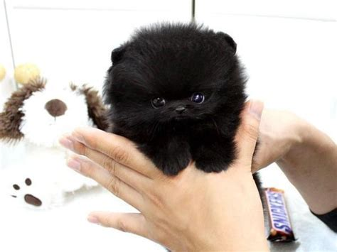 teacup pomeranian wiki gratis honden pups newhairstylesformen2014