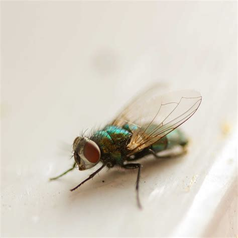 Flying Bed Bugs by House Flies Common Flying Pest In Households Pest