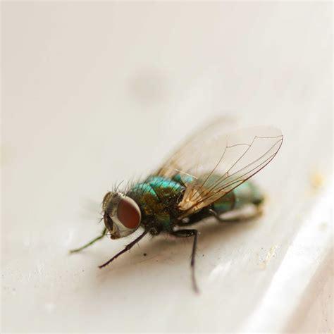house flies common flying pest in households pest