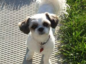 how to cut a shichon s hair 16 best shih tzu hair cuts images on pinterest