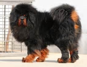 Tibetan mastiff price in india tibetan mastiff puppy for sale in delhi