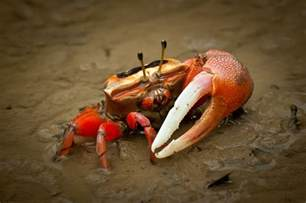 keeping fiddler crabs as pets pet fiddler crab