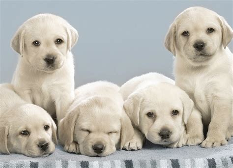 how many puppies are in an average litter litter size of labrador retriever many