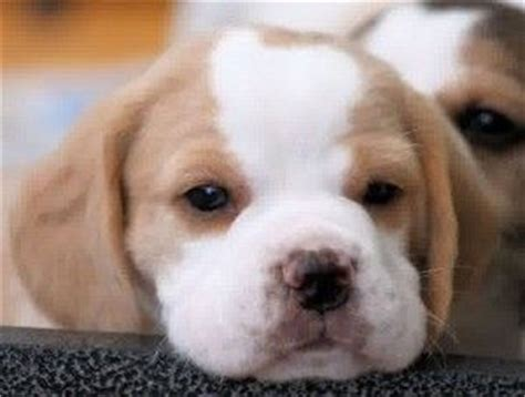 beagle puppies for sale in ohio 25 best ideas about lemon beagle on beagle puppy beagle puppies and