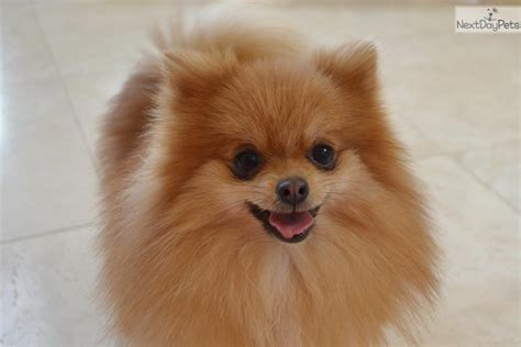 ny pomeranian breeders teacup pomeranian puppies breeds picture