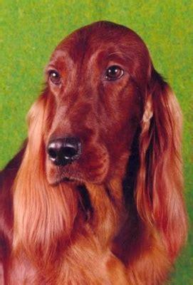 irish setter dogs for sale australia taraglen irish setters irish setters australia