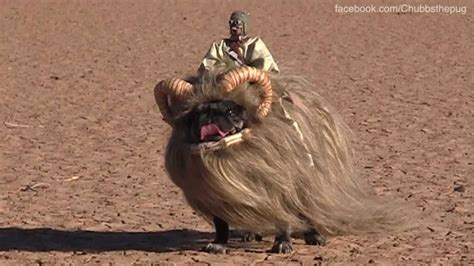 pug costume wars banthapug