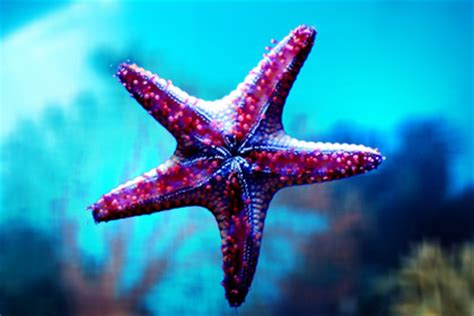 starfish colors how dangerous are danglers lingua franca blogs the