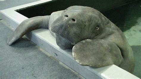 Manatee Records Ta Bay S Favorite Manatee Snooty Celebrates 67th Birthday Wfla