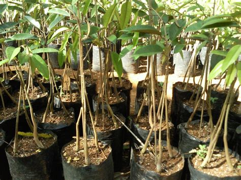 Jual Bibit Durian Musang King Kaki Empat bibit durian bawor produk pt nusantara