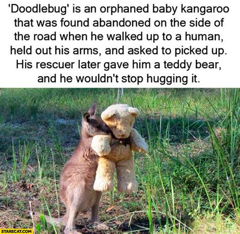 doodlebug the kangaroo doodlebug orphaned kangaroo hugging a teddy