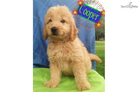 goldendoodle puppy new meet ch a goldendoodle puppy for sale for 1 295