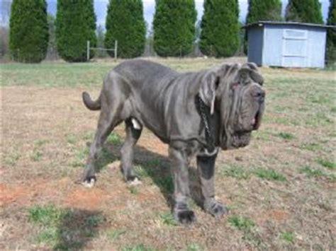 mastiff puppies for sale in ga neapolitan mastiff puppies in