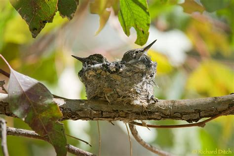 anna s hummingbird nest rich ditch s photography blog