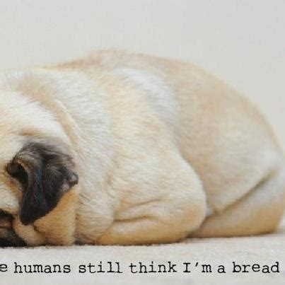 pug bread pug quot loaf of bread quot puggies