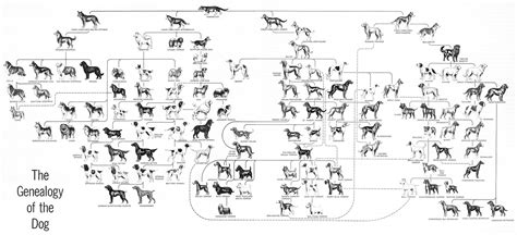 the evolution of dogs evolution of dogs