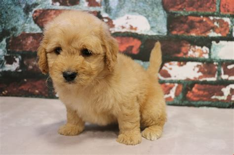 mini goldendoodle puppies mini goldendoodle puppy