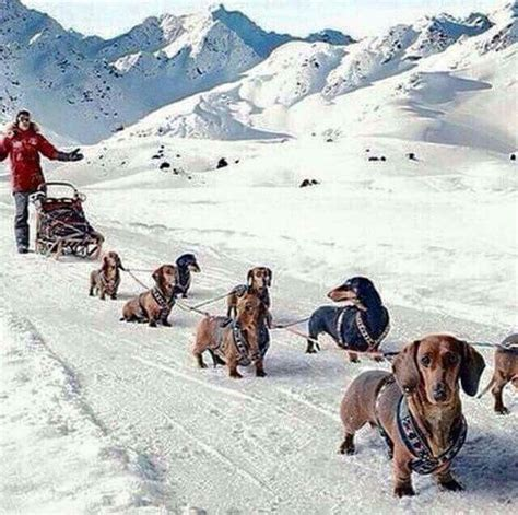 how are sled dogs trained best 25 sled dogs ideas on polar dogs polar and friends