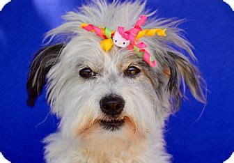maltese in chinese irvine ca chinese crested maltese mix meet cami a dog
