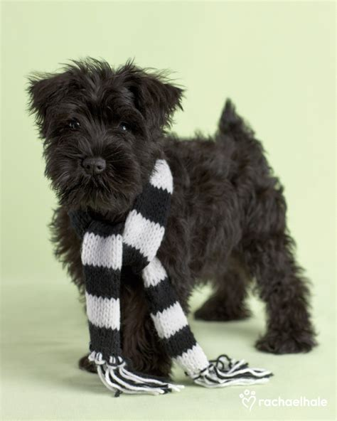 black miniature schnauzer puppies pet assure daily pet calendar turbo miniature schnauzer 2012 11 17 03 00 00