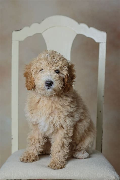 mini goldendoodle alberta 1000 ideas about mini poodles on teddy