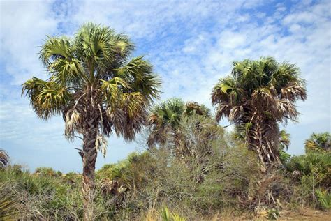 washingtonia  palmetto discussing palm trees worldwide palmtalk