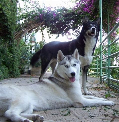 sled breeds grey husky www pixshark images galleries with a bite