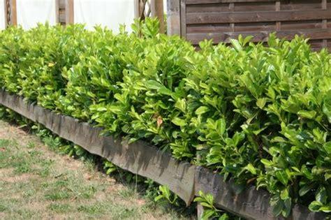 Kirschlorbeer Rotundifolia Kaufen by Kirschlorbeer Lorbeerkirsche Rotundifolia Prunus