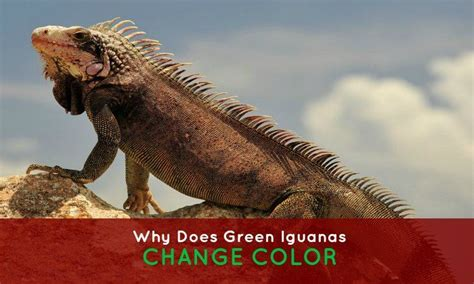 can iguanas change color 26 best green iguana care images on green