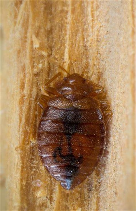 ddt bed bugs ddt bed bugs pleasing why bed bugs are back and how ddt