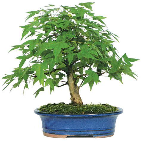 Animal Pots trident maple bonsai care