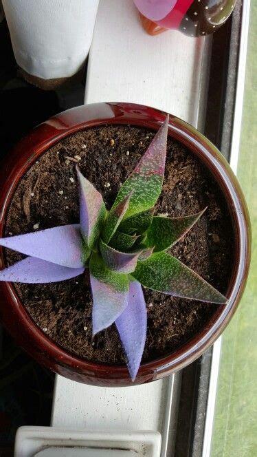 kosmik kaktus succulent terrarium cactus flowers