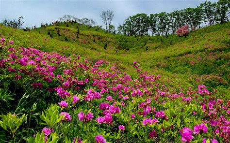 With Flowers summer mountain meadow with pink flowers and green grass