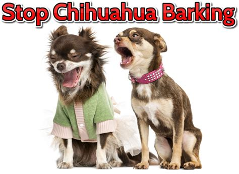 how to a to bark how to a chihuahua to stop barking