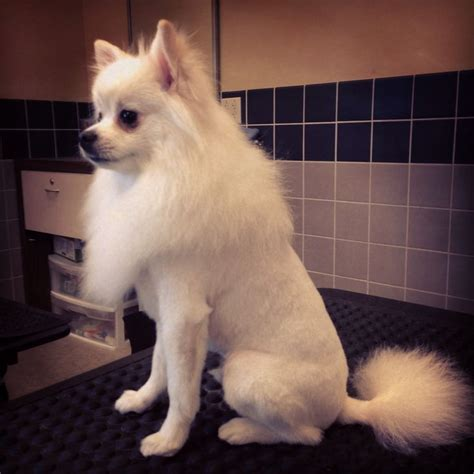 pomyorkie hair cuts best 28 dog grooming by kristen images on pinterest