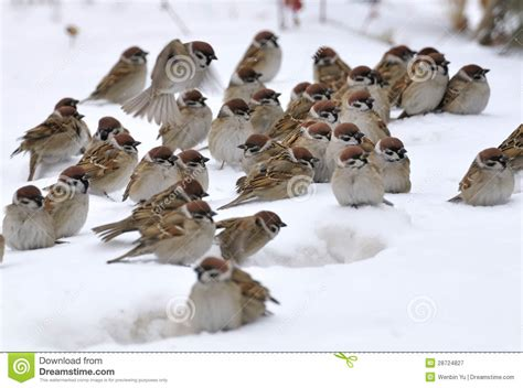 Odan Tak Gentar Di Lautan eine gruppe spatzen stockbild bild spatz winter